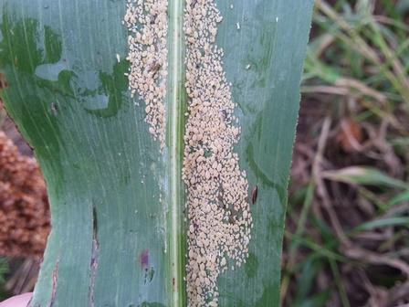 Sugarcane aphid August 28 2015
